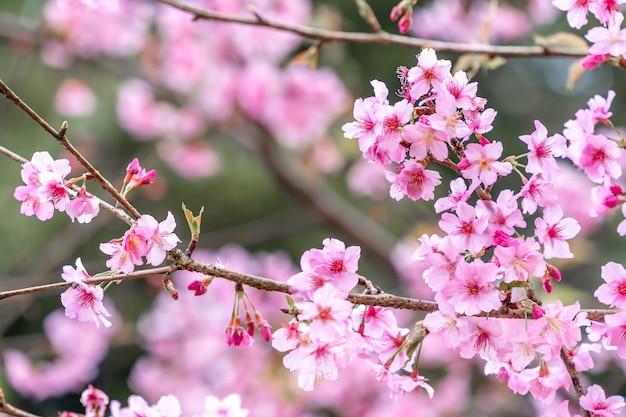 Bellissimo albero di fiori di ciliegio sakura che fiorisce in primavera