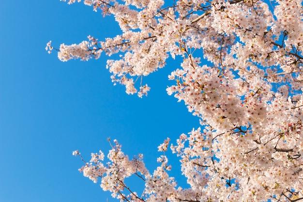 Bei fiori di ciliegia qui sopra con il cielo blu libero nella priorità bassa.