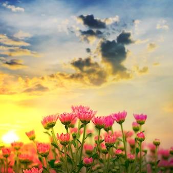 Bellissimo crisantemo con tramonti nel giardino