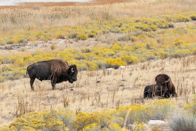 Bella vista ravvicinata di un bisonte in piedi in mezzo al campo