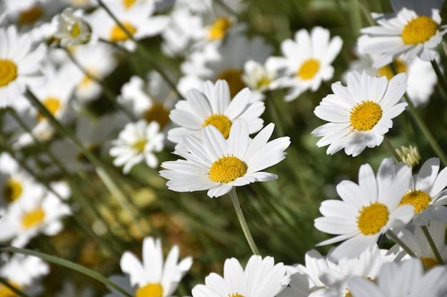 Bellissimi grappoli di margherite in fiore che sbocciano in primavera
