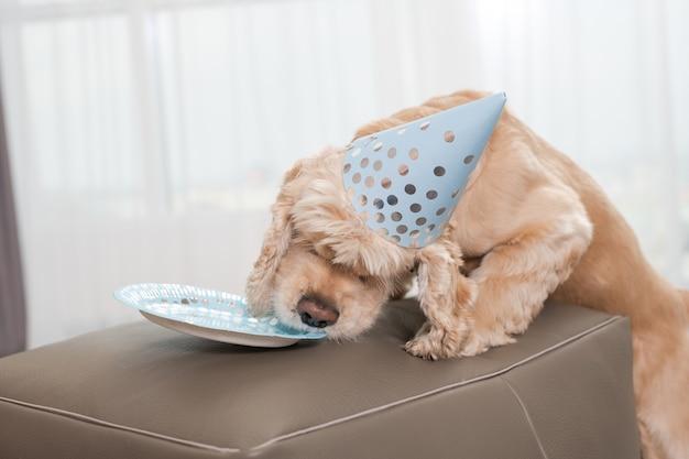 Bellissimo cocker spaniel che indossa un berretto a cono da festa blu, lecca un piatto vuoto dove c'era la torta di compleanno cibo per cani, evento familiare con animali domestici