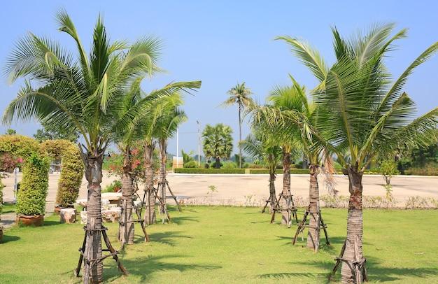 Bellissimi alberi di cocco nel giardino del parco