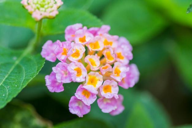 Bello fiore variopinto della barriera, piangente lantana, lantana camara linn