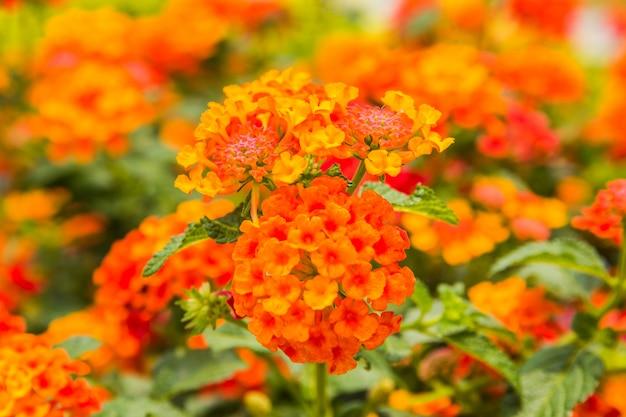 Bello fiore variopinto della barriera, lantana piangente