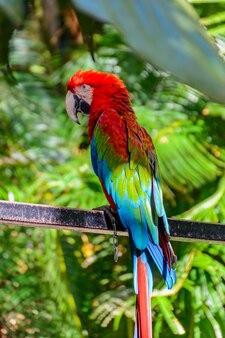 Il bellissimo pappagallo colorato nella foresta tropicale nel parco yanoda, città di sanya. isola di hainan, cina.