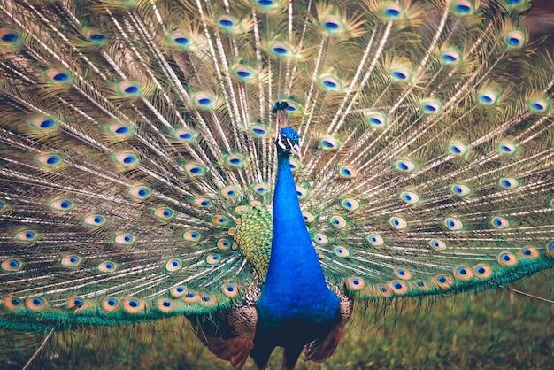 Bellissimo e colorato pavone con coda aperta