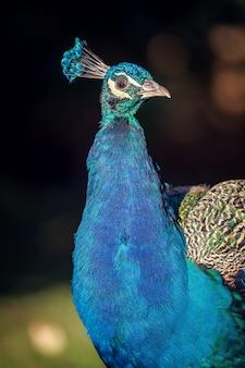 Bellissimo pavone colorato