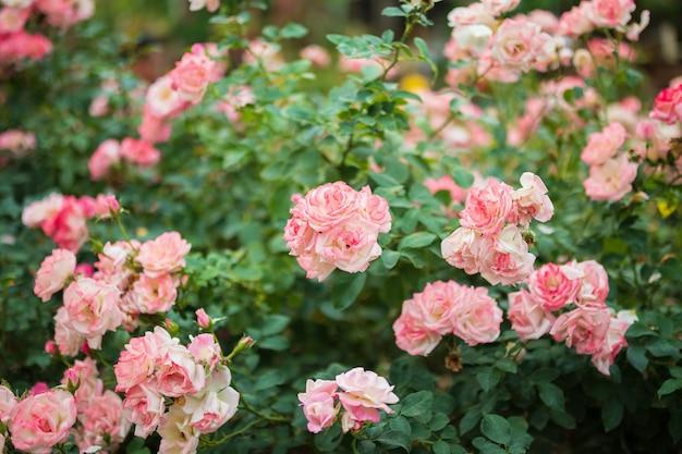 Fiore di belle rose rosa colorate nel giardino