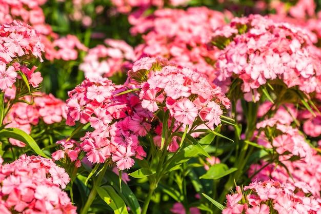 Bellissimi fiori estivi colorati che sbocciano nel giardino.
