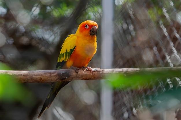 Bellissimo uccello colorato pappagallo conuro del sole