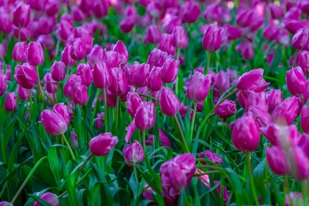 Tulipani belli e colorati in giardino, provincia di chiang rai, thailandia, soft focus,