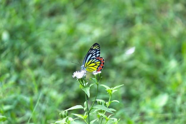 Una bellissima farfalla jezebel comune delias eucharis sta riposando su piante da fiore in un parco pubblico