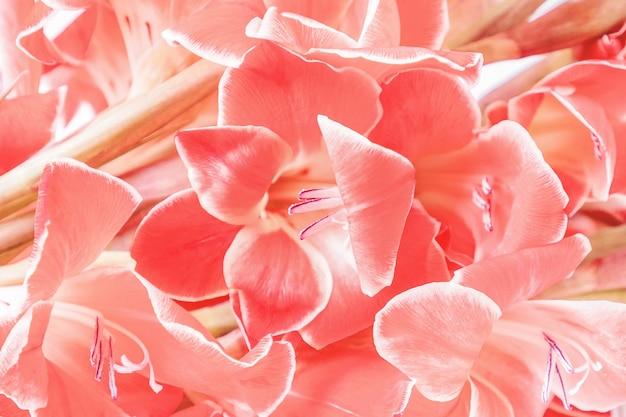 Bellissimi gladioli color corallo o pesca, sfondo floreale