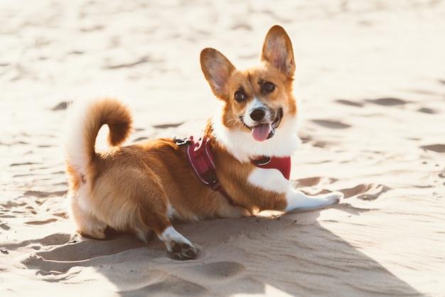 Bellissimo cane corgi sulla spiaggia sabbiosa.