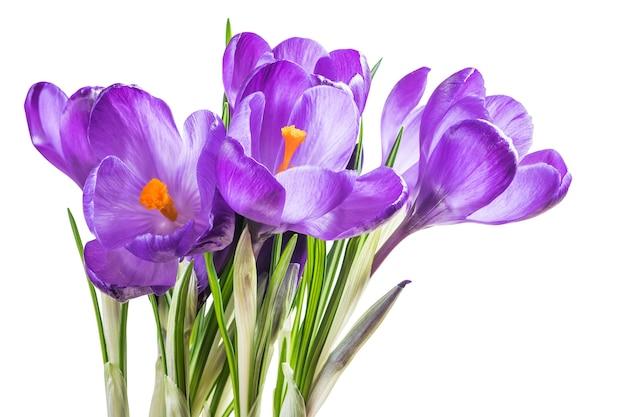 Bellissimi fiori di croco isolati su superficie bianca