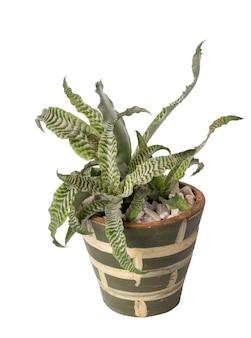Bella cryptanthus fosterianus bromelia houstplant sulla pentola di terracotta verde isolato su priorità bassa bianca con il percorso di residuo della potatura meccanica