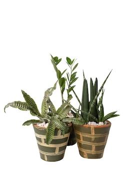 Bella cryptanthus fosterianus bromelia, snake plant e zamioculcas zamiifolia houstplant sul vaso di argilla verde isolato su priorità bassa bianca con il percorso di residuo della potatura meccanica