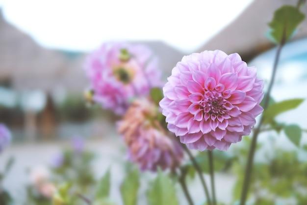 Bello fiore della dalia come immagine di sfondo.