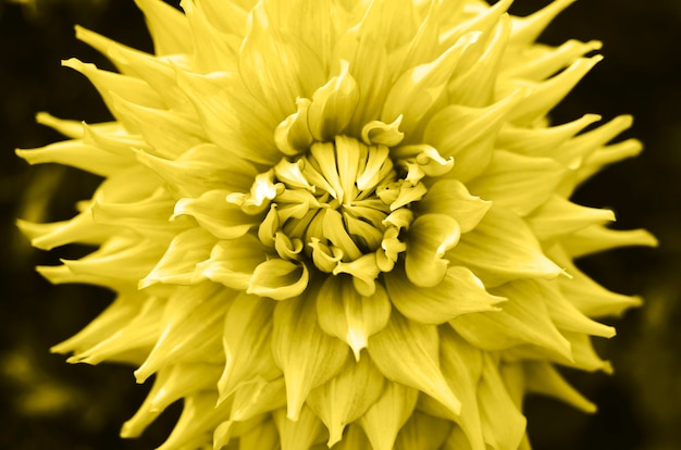Bellissimo fiore dalia in giardino