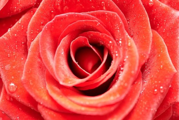 Bella rosa rosso scuro. vista macro close-up