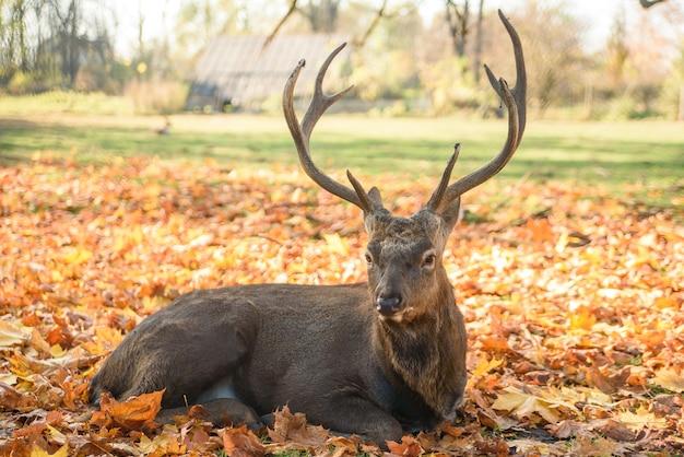 Bellissimo cervo sdraiato sulle foglie che cadono nella foresta.