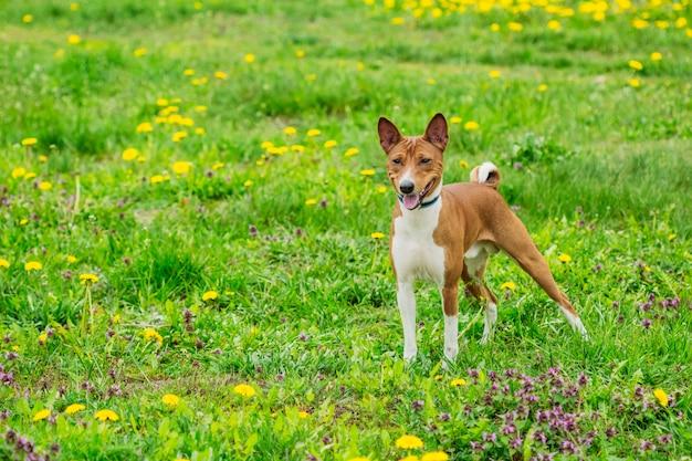 Bellissimo cane della razza basenji nell'erba