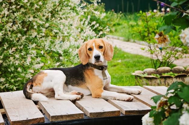 Cane da lepre bello del cane che si siede nel giardino