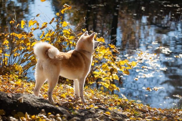 Bella razza di cane akita inu in una passeggiata