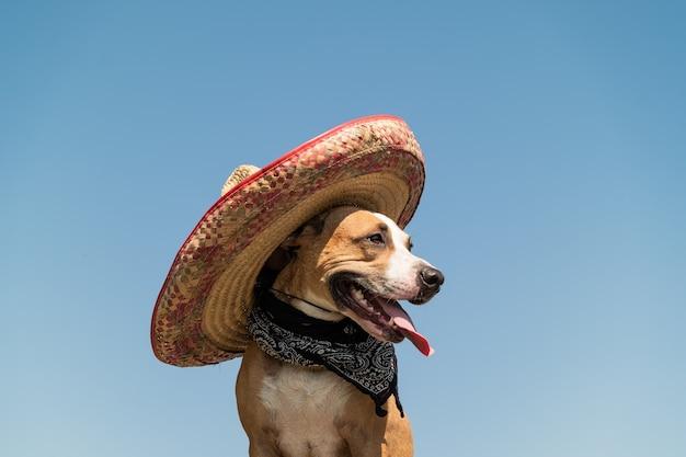Bellissimo cane in cappello messicano come bandito di gangster in stile occidentale. carino divertente staffordshire terrier vestito con cappello sombrero come simbolo festivo del messico o per halloween