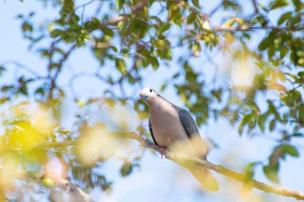 Una bella colomba che approfitta dei rami di un albero di jabuticaba per riposare il fuoco selettivo