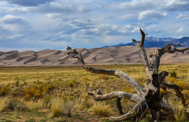 Un bellissimo albero secco su uno sfondo di dune di sabbia. great sand dunes national park, colorado, stati uniti d'america