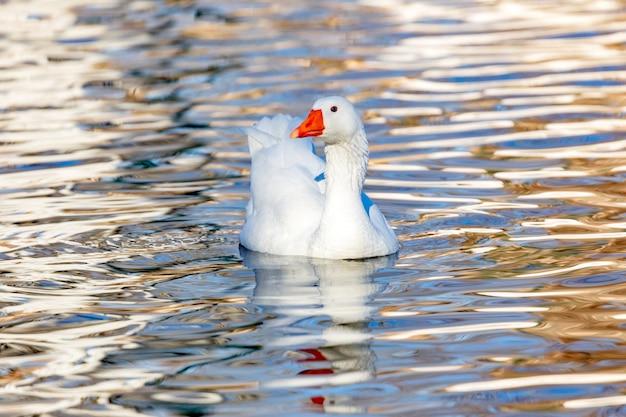 Bella anatra che nuota in un fiume