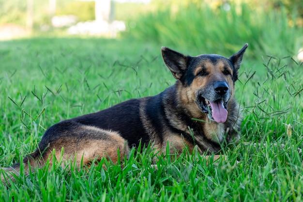 Bellissimo cane pastore tedesco anziano