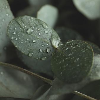 Belle foglie di eucalipto con gocce d'acqua, primi piani