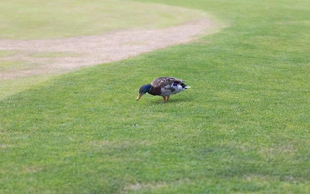Bella anatra maschio europea che cammina sull'erba verde al parco