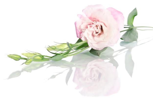 Bellissimo fiore eustoma con foglie e boccioli su bianco