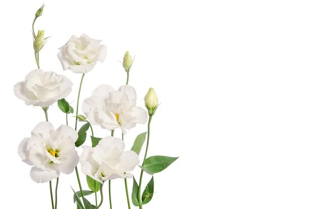 Bellissimi fiori di eustoma isolati su sfondo bianco e spazio libero per il testo dal lato