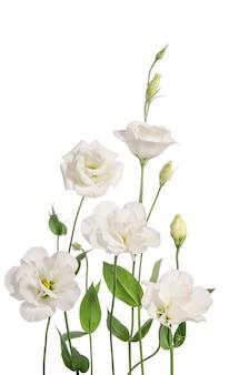 Bellissimi fiori eustoma isolati su sfondo bianco