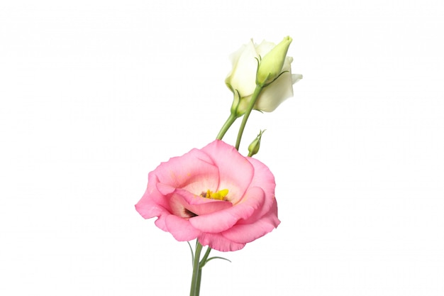 Bei fiori di eustoma isolati su bianco
