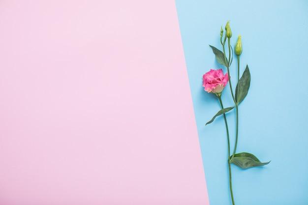 Bella eustoma su sfondi di carta multicolore con spazio di copia. primavera, estate, fiori, concetto di colore, festa della donna.