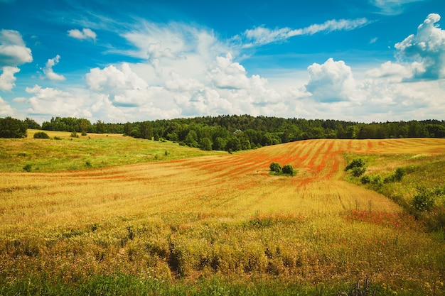 Bellissimo campo con papaveri rossi in fiore. agricoltura biologica in lituania.