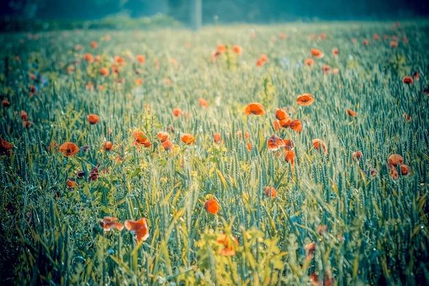 Bellissimo campo con papaveri al mattino filtro