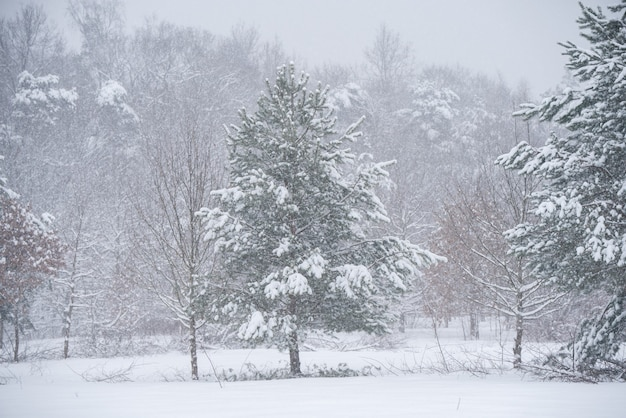 Bellissimo albero di abete con neve sullo sfondo della natura invernale.
