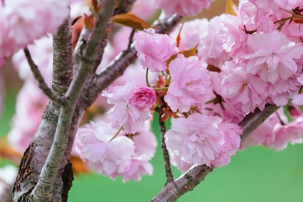 Bellissimo fiore fiore di ciliegio o sakura, fiore di sakura o fiore di ciliegio con bellissimo sfondo naturale, fiore di ciliegio