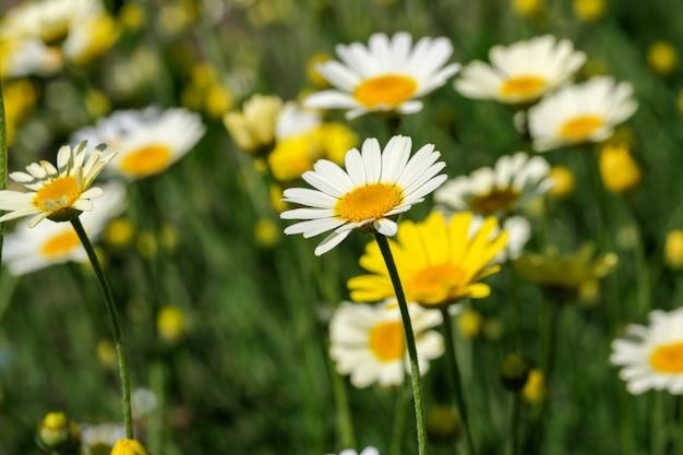 Bella immagine di piante da fiore margherite in fiore si chiudono in una luminosa giornata di sole estivo