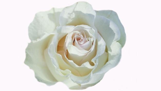 Bella rosa bianca del fiore isolata