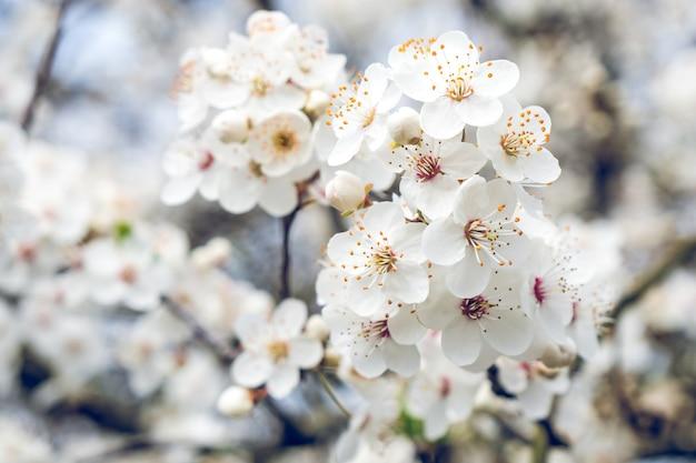 Bellissimi alberi di prugne in fiore. sfondo con fiori che sbocciano in primavera.