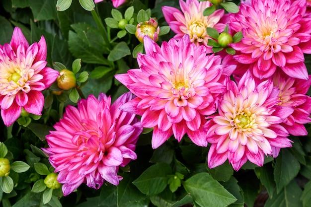 Bellissimi fiori di aster cinese.