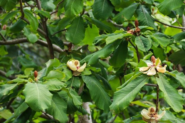 Bellissimi fiori di magnolia grandiflora (magnolia meridionale o bull bay)